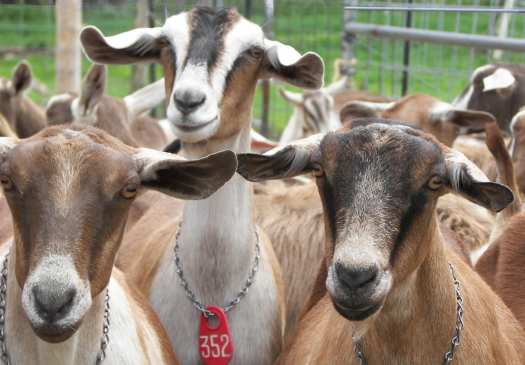 Photo of Seal Cove Farm dairy goats